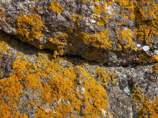 Orange Lichen-1